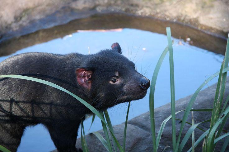 * Diabo-da-Tasmânia *  Australian Reptile Park.