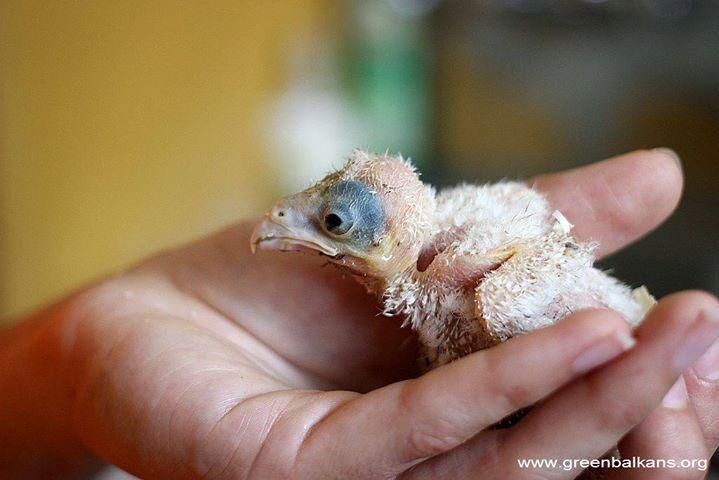 Мъничко, грозничко, с голяям хъс за живот <3 - бебе кукумявче пристигнало в Спасителния център преди...