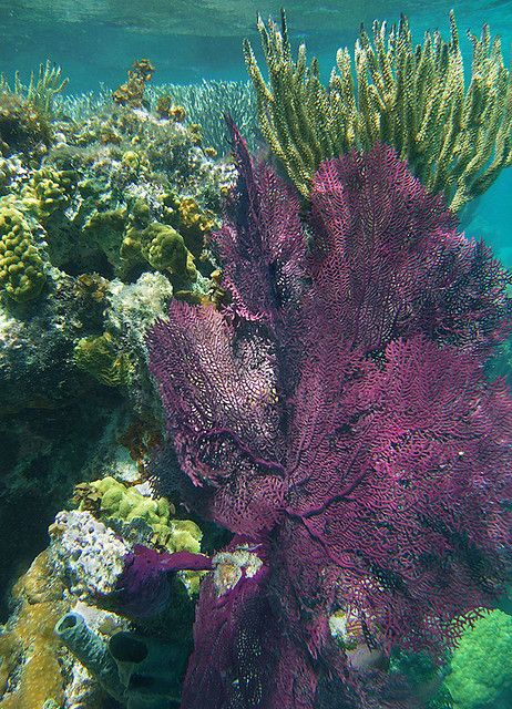 Belize snorkeling offers some wonderful soft corals. Here you can see a purple sea fan, some rods and in the lower left a few sponges.