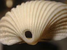 Cómo agujerear conchas de mar con una cuchara
