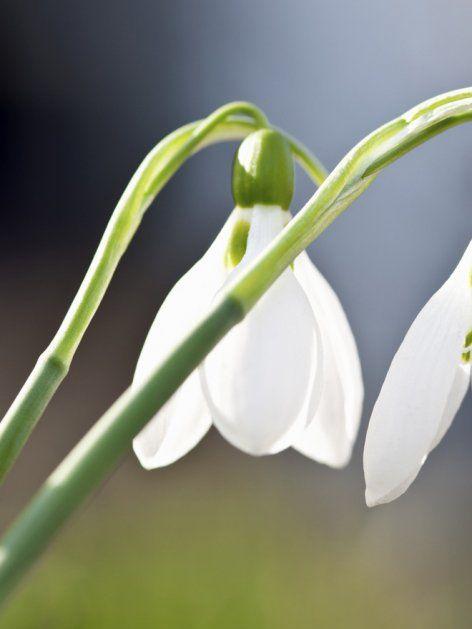 Schneeglöckchen: Dekorieren mit dem Frühblüher