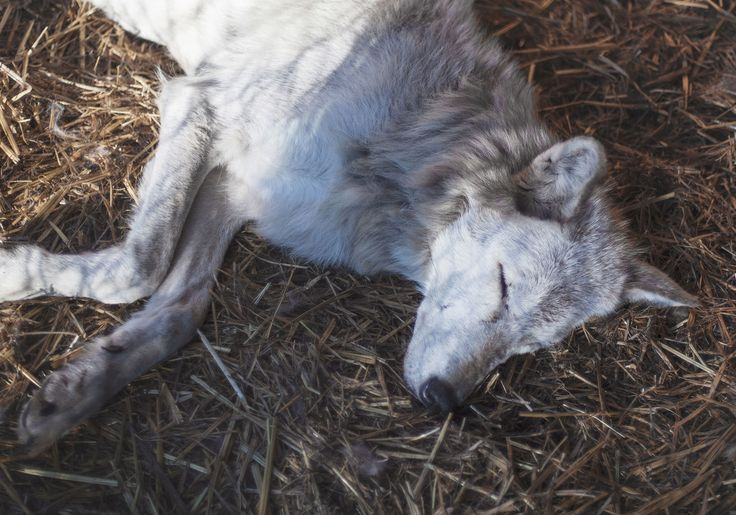 Picture of a gray wolf napping in the midday sun at Wolf Haven International, a wolf sanctuary in Washington state