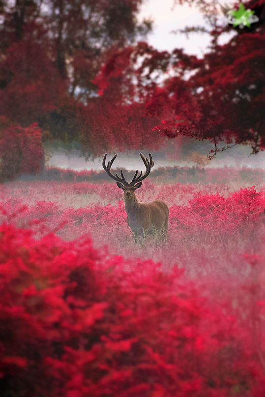 [PHOTO] Cerf dans une forêt rouge #photo #art #nature