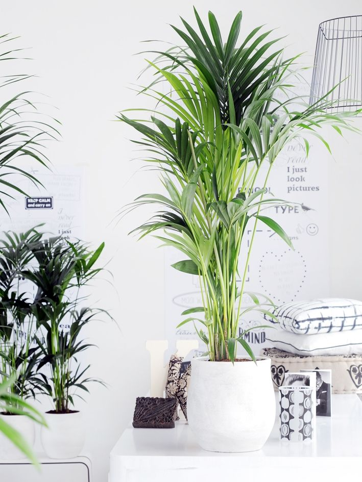 Die Kentia-Palme ist auch bekannt als Howea. Eine Pflanze wie eine frischgrüne Blattexplosion, mit einer stilvollen Ausstrahlung und geringen Pflegeansprüchen. Die Kentia-Palme gibt Ihnen von ihrer unbändigen Energie gerne etwas ab.