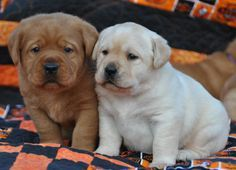 FOX RED LABRADORS PUPPY COLORS PUPPIES LAB BREEDERS PUPPIES