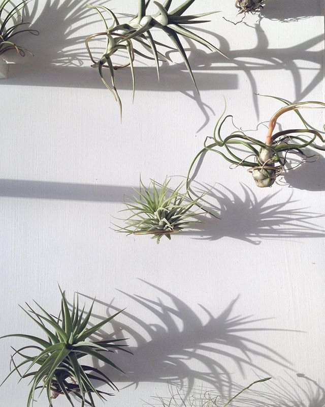 Love to wake up with a sunshine ☀️ #arkiplant #indoorgreen #homedecor #plantslife #interiordesign #airplant #tillandsia