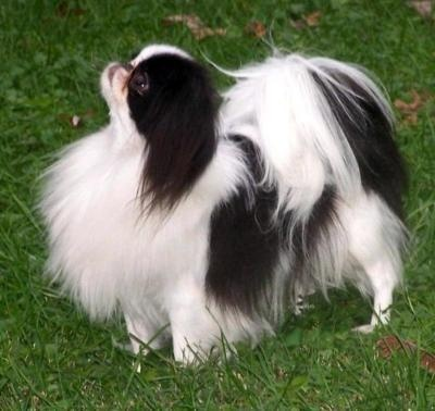 Japanese Chin: Dogs, Pets, Chin Chin, Cutest Puppies, Japanese Chins, Chin Dog, Dog Breeds, Animal, Furry Friends