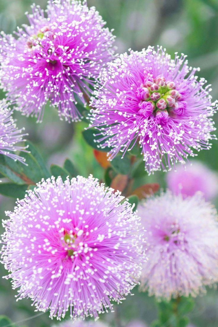 Purple Poms - drought resistant flower in Manhattan Beach, California