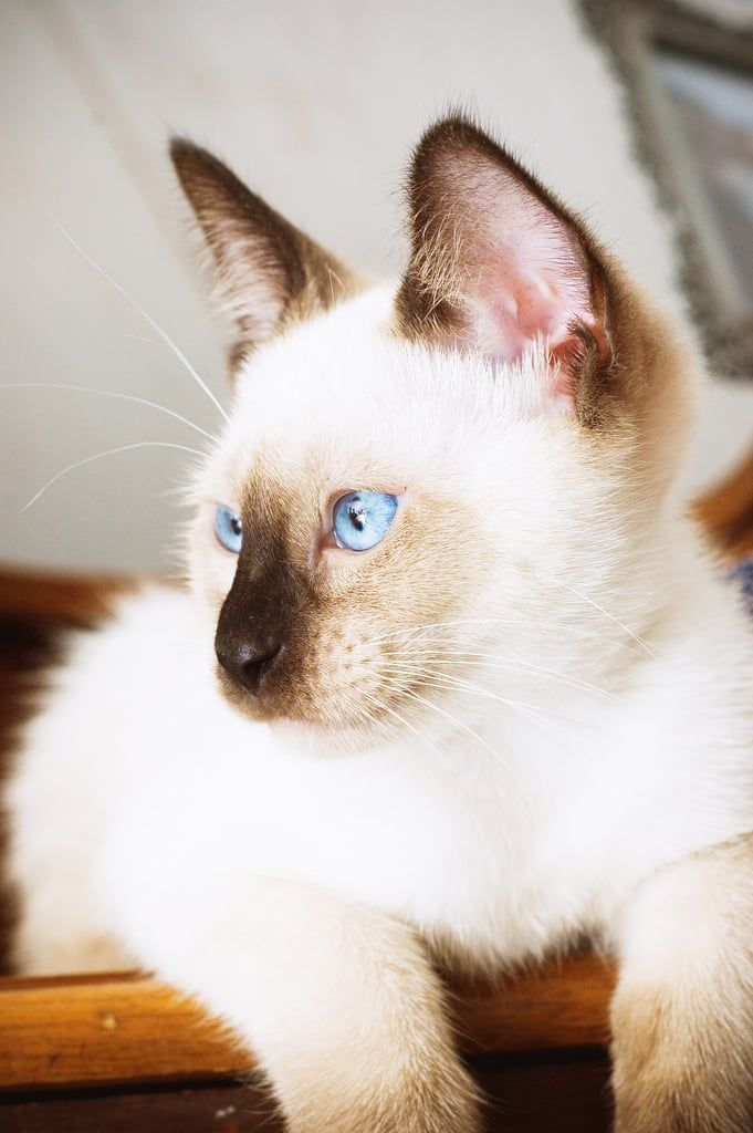 Little Known Facts About Siamese Cats Siamese Cats Blue Point Pretty Cats Cats And Kittens