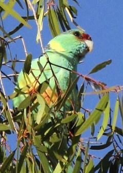 A ring-necked parrot  #koroit #opal #queensland #australia #parrot
