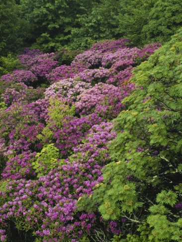 Best Rhododendrons In Gardens And Natural Landscapes Images On