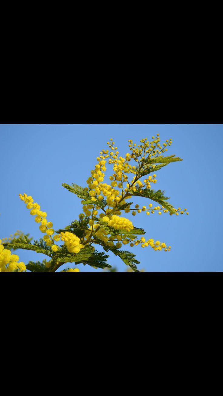 (Vitenskapelig navn) Acacia longifolia , mimosa