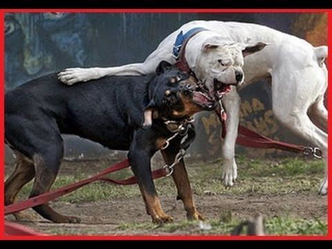 Rottweiler Vs Pitbull - Rottweiler Vs Pitbull Real Fight | AMAZING Dog ...