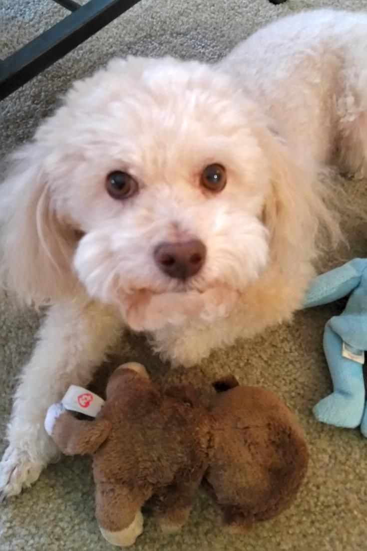 Bichon Frise Poodle Mix For Adoption To Very Loving Home In Austin