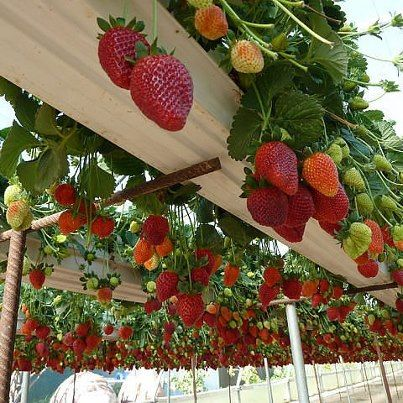 Grow strawberries in gutters. Awesome!