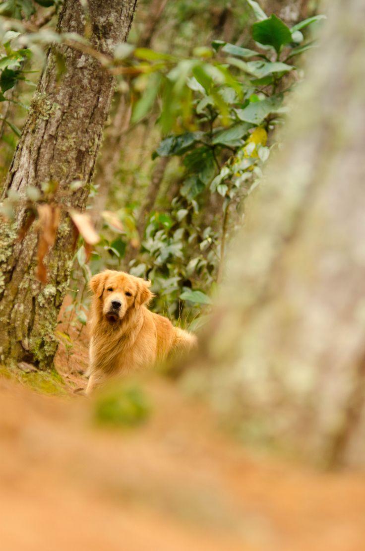 golden retriever forest