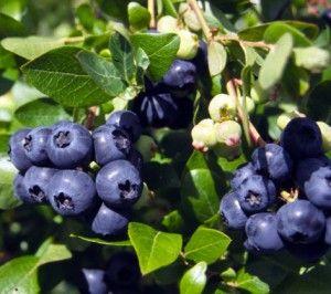 mustikka/blueberry :D