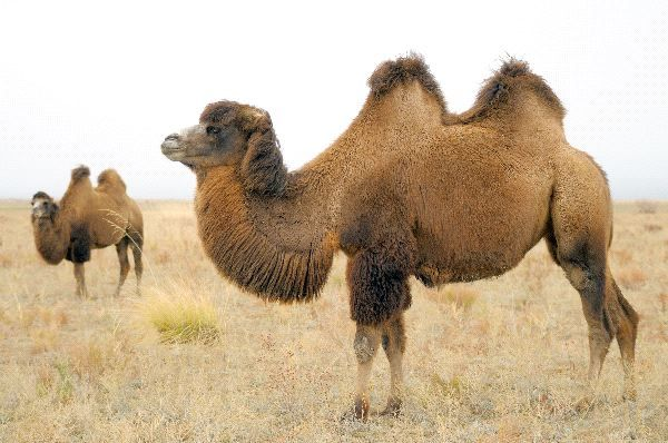 bactrian camel facts | Bactrian Camels Facts and Information