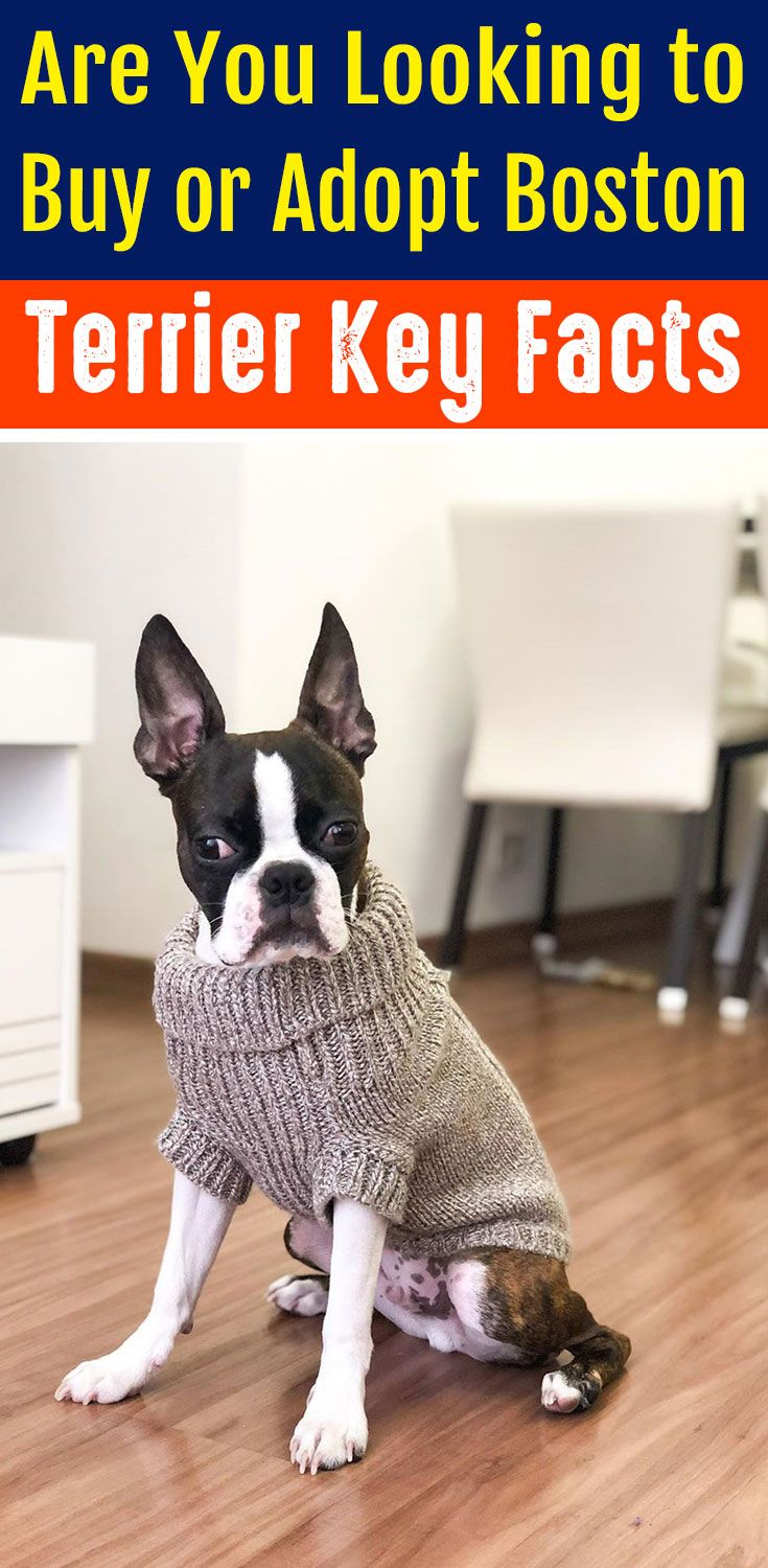 Are You Looking To Buy Or Adopt Boston Terrier Key Facts In 2020 Boston Terrier Funny Boston Terrier Brindle Boston Terrier