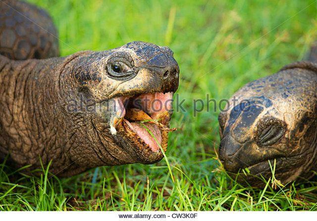 Tortuga gigante (Geochelone gigantea).  Especies vulnerables.  Dist.  Islas Seychelles.  - Imagen de archivo