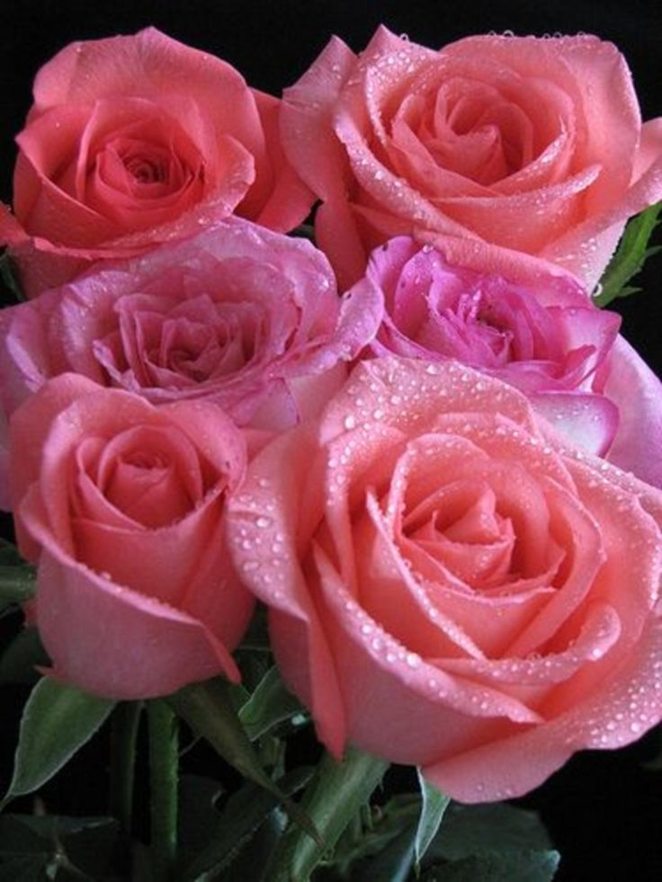 beautiful pink flowers 1508 best a roses 4 images on pinterest flowers pink roses and