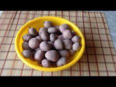 154. Картошка без жуков и проволочника