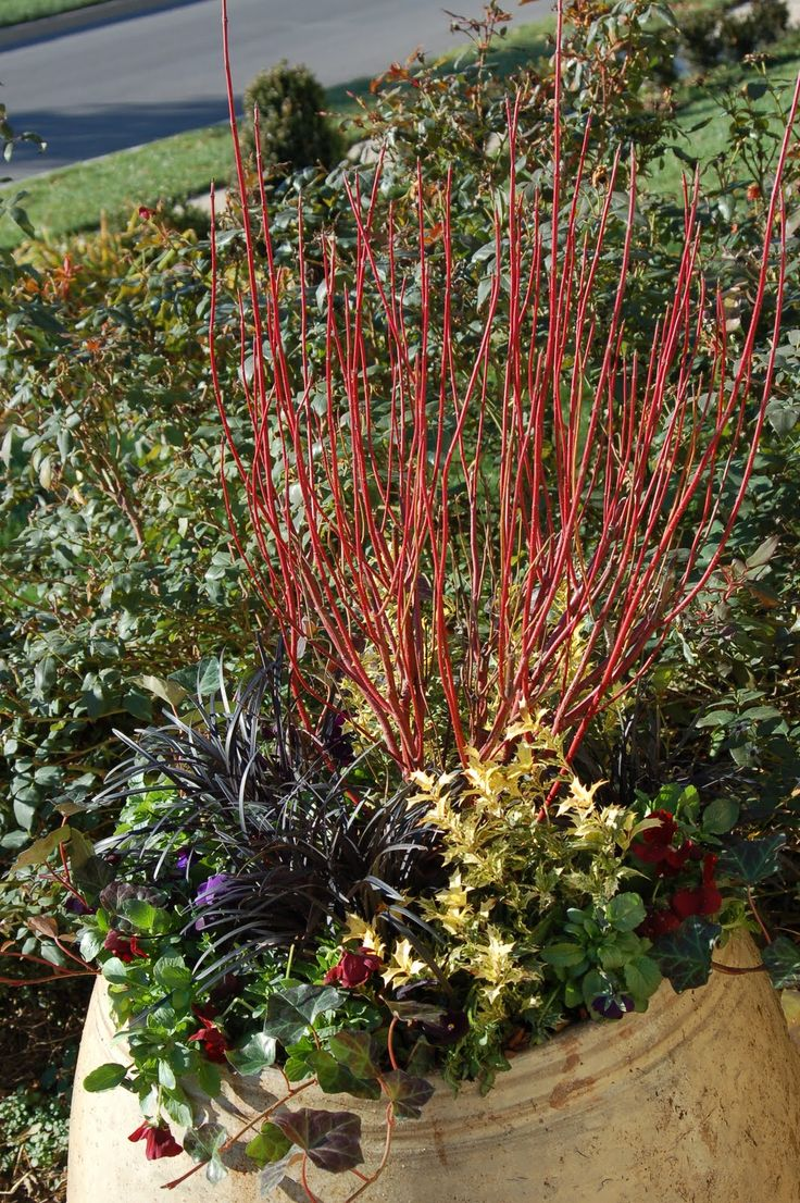 winter container red twig dogwood variegated holly pansies