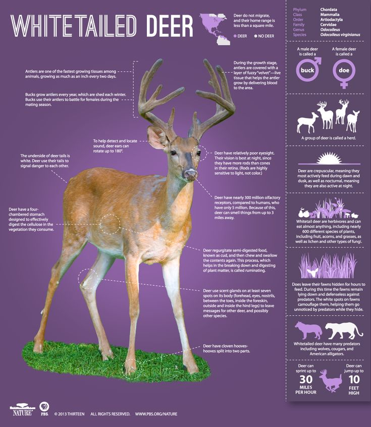 Deer do not migrate. Their home is less than a square mile. Learn more!