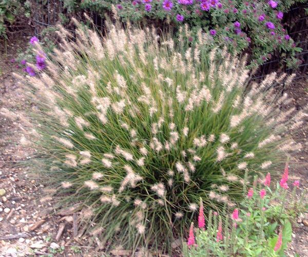 17 best images about perennial grasses plants on for Dwarf perennial ornamental grasses