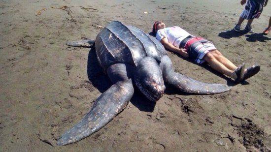As Maiores Tartarugas Marinhas - http://www.planetaselvagem.com/as-maiores-tartarugas-marinhas/