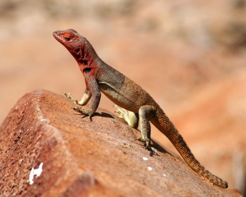 """One of the most common animals found on the Galapagos are the islands' small lizards, often affectionately referred to as """"lava lizards."""" There are at least seven recognized species, each with unique traits. Like with the Galapagos' finches, the variety of species of lava lizards represent a remarkable example of adaptive radiation."""