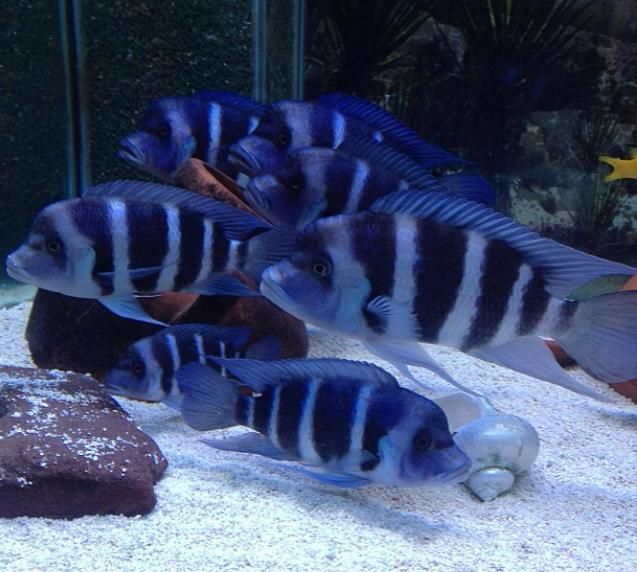 Moba frontosa - African Cichlid Breeders