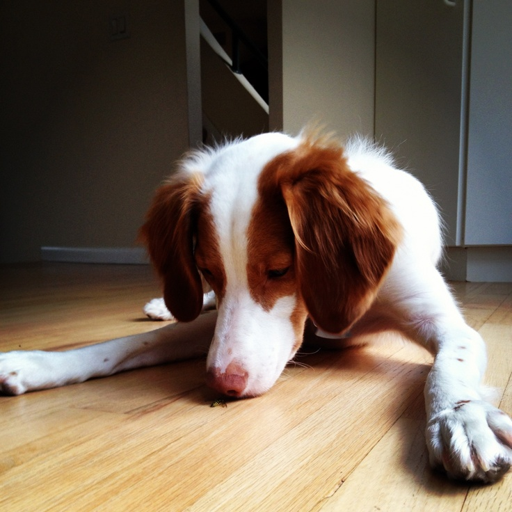 My Brittney spaniel trying to eat a bug