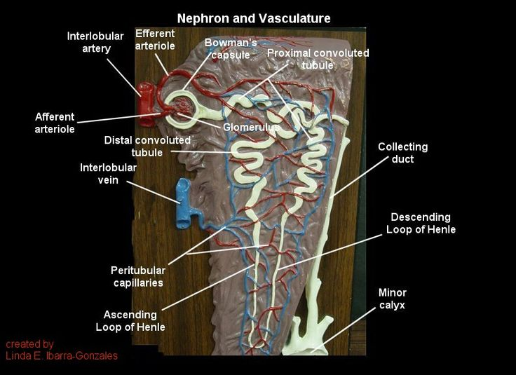 Nephron and Vasculature Brown Model | A&P.5.Stomach ...