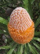 Banksia.... Waratahs like to hang with Banksias