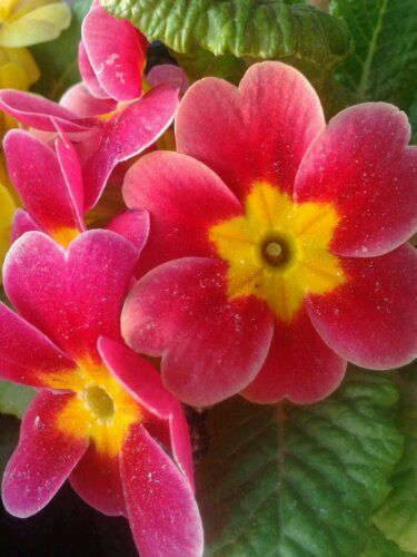 52 best perennials  showy flowers images on pinterest