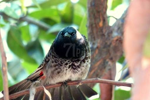 red vented bulbul by partho dhar on 71pix.com