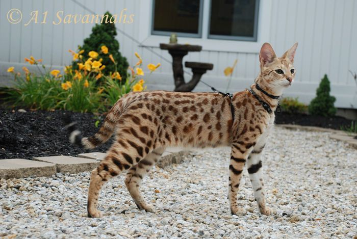 Male Savannah Cat F1 Generation - A1-Savannahs Europe