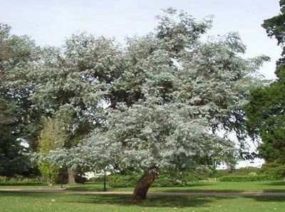 Evergreen Shade with A Sweet Scent - The Silver Dollar Eucalyptus Tree is so popular because... • It fills up your whole yard with a delightful fragrance  • Grows up to 6-8 feet per year!  • Is perfect for cut arrangements around your home  • Resists diseases and repels pests!  • Is one tough tree-...