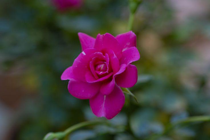 Fuchsia Rose Avli Creative cuisine