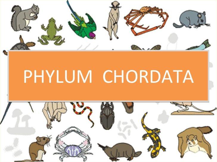10 Best Phylum Chordata Images On Pinterest Adorable Animals