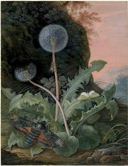 (31) TwitterMargaretha Barbara Dietzsch, (1741-1784), Dandelion with a Death's Head moth and a smaller green moth or butterfly