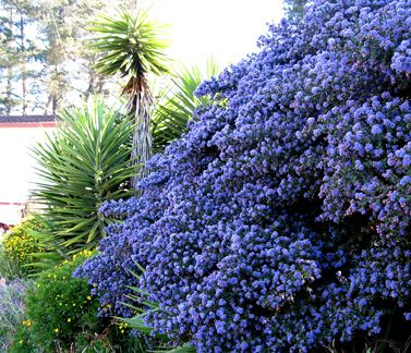 It S Almost Ceanothus Season Annie Says This Handsome Native Shrub Or