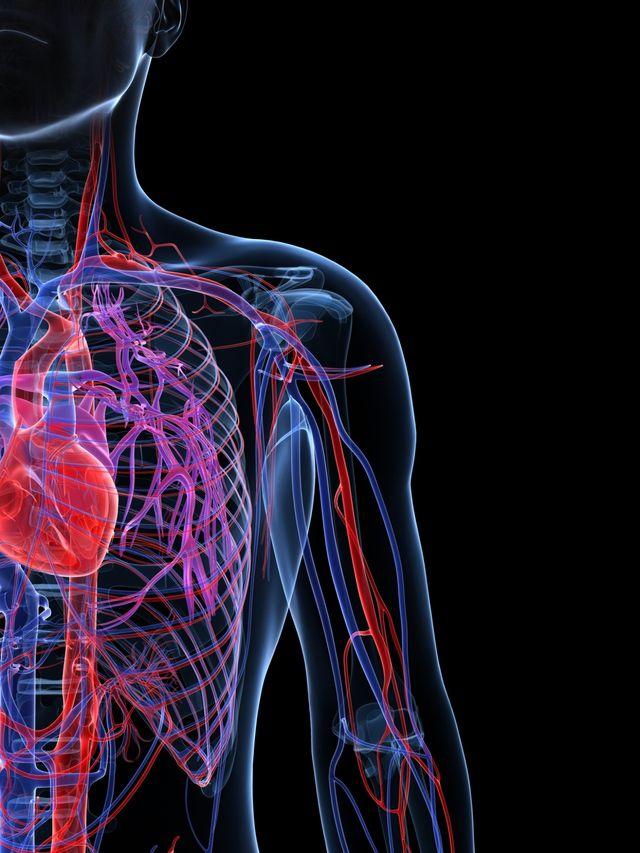 Tipos de vasos sanguíneos: venas y arterias: Los vasos sanguíneos