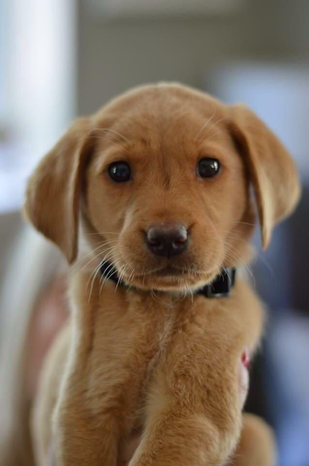 Love at first sight. Meet Henry the red labrador puppy