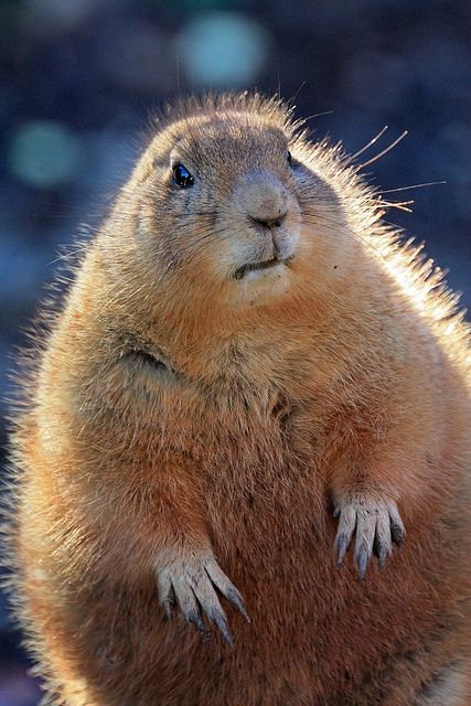 Prairie dog - this looks like the ground hogs that used to live under our grain barn.