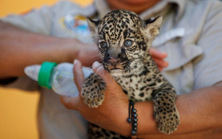 A four-week-old jaguar meets the media for the first time in a zoo in Ciudad Juarez, Mexico
