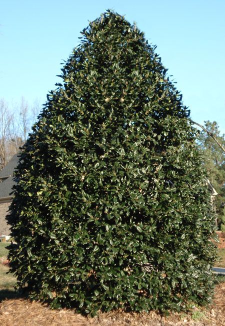 American Holly Trees for Sale | Fast Growing Trees
