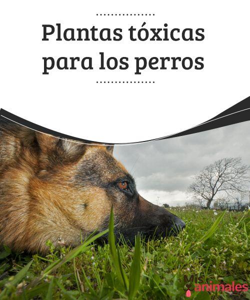 Plantas tóxicas para los perros Vamos a descubrir en este artículo algunas de las plantas tóxicas para los perros y cómo podemos evitar que se acerquen a ellas #Salud #plantas #tóxicas #perros