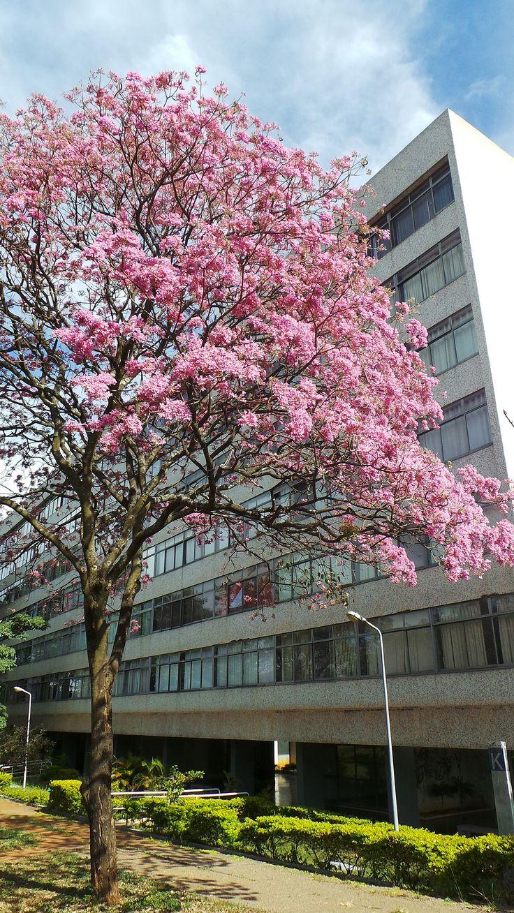 Tabebuia's blossom in Brasilia | Floração do Ipê-roxo em Brasília | Photo: Rosalba Matta Machado | www.rosalba.com.br